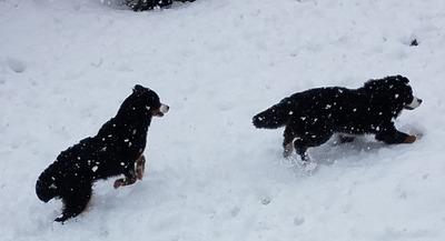 Hazel chasing Grut Feb 2019